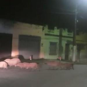 Itabuna: Capivaras 'aproveitam' ambiente de pandemia e circulam por ruas; veja vídeo.